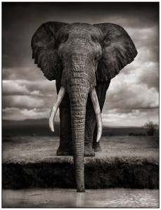 Nick Brandt - Elephant Drinking, Amboseli 2007. Courtesy of Source Photographica.
