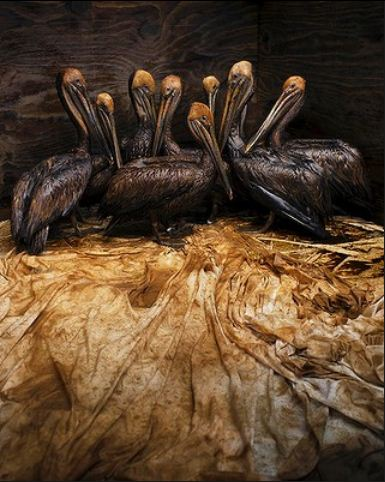 Photo by Daniel Beltrá Veolia Environment Wildlife Photographer of the Year 2011