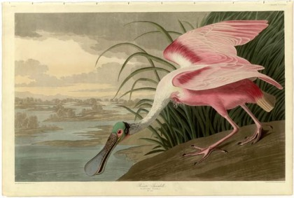 Roseate Spoon Bill - Birds of America, John James Audubon