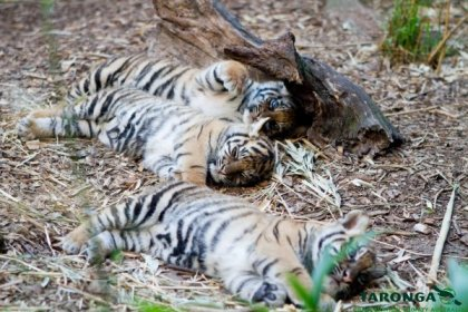 Sumatran Tiger Cubs at Taronga Zoo.  Photo by Rick Stevens