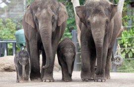 Taronga Zoo elephants.  Photo by Rick Stevens