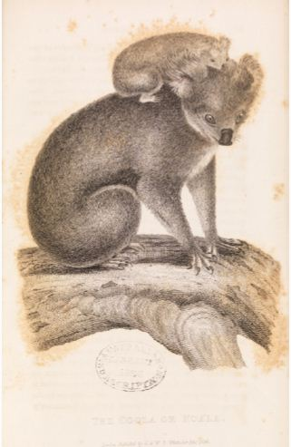 John Lewin  Koala and young watercolour 1803. Interestingly this painting was owned by Philip Gidley King who was by now Governor of NSW.