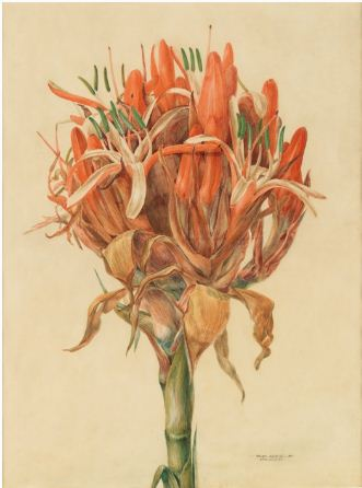 John Lewin The Gymea Lily  watercolour 1807