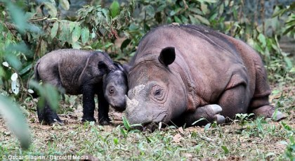 Baby Sumatran Rhinoceros