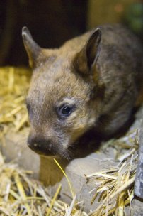 Rare hairy nose wombat born at Taronga Park. Image courtesy of Taronga Zoo.