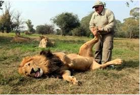 How Do Lions Have Sex