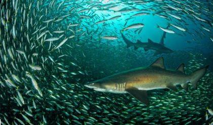 Grey Nurse Sharks. Photograph by Justin Gilligan.
