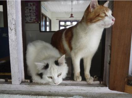 TTwo rescued cats now permanently living at DAS, Darjeeling. Photograph C. Townend