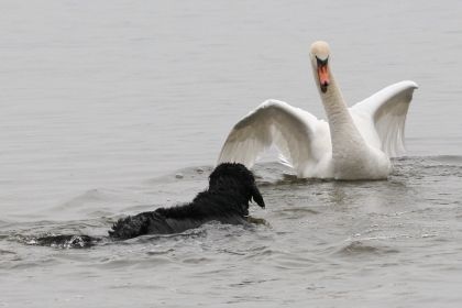 Harley and James the swan. Photograph by Monika Laryett-Olson.