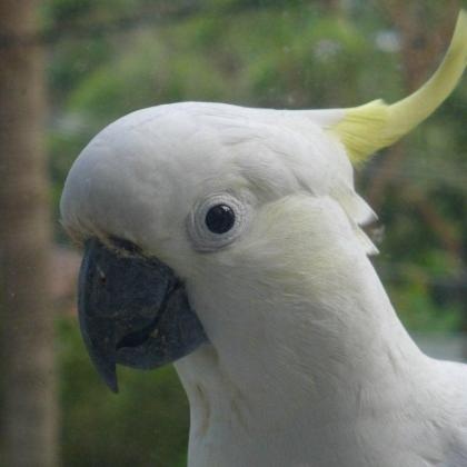 Sulphur-crested Cockatoo looks in my window