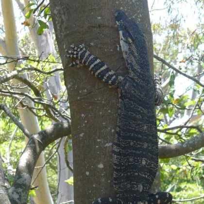 This goanna appeared on a very hot day