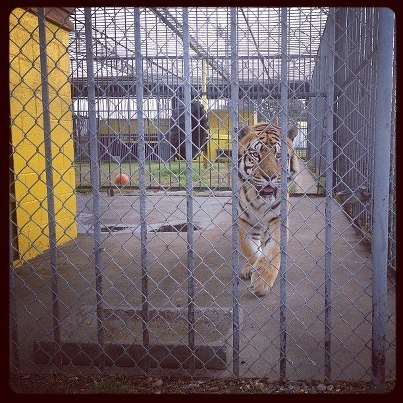 Tony the Tiger - Courtesy of S. Zaunbrecher