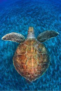 Turtle Gem Copyright Jordi Chias (Spain)