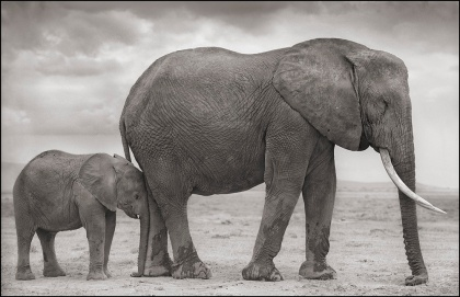 Elephant with Baby Nuzzled into Leg