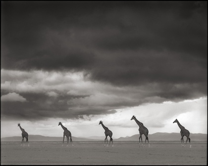 Giraffes Crossing Lake Bed
