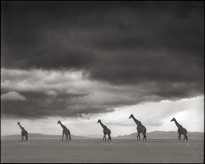 Giraffes Crossing Lake Bed