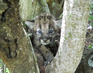 Panther Kitten ©Florida Fish & Wildlife Conservation Commission