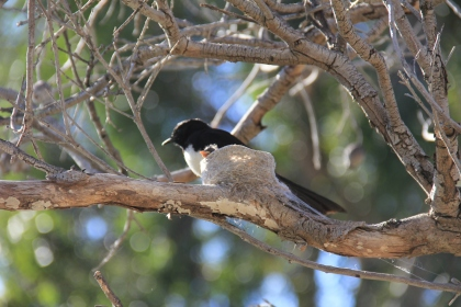 Willie Wagtail and baby by Sylvia Ross