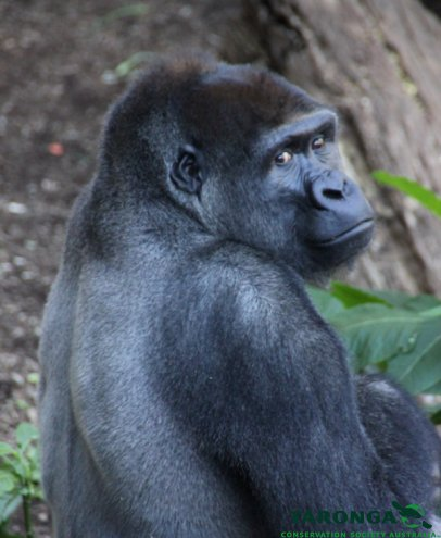 Kibali at Taronga Zoo. Photographed by Lisa Ridley.