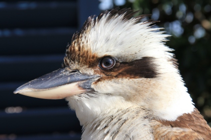 Kookaburra by Sylvia Ross