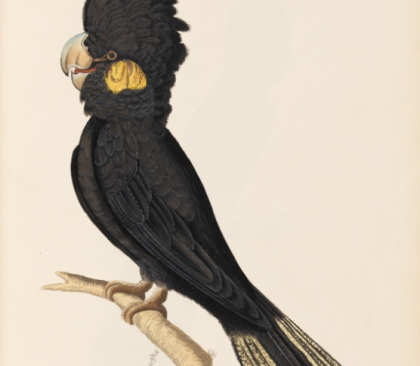 Banksian Cockatoo, 1790s