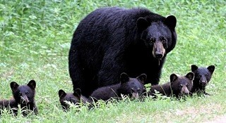 Black bears in northern New Hampshire, 2007.