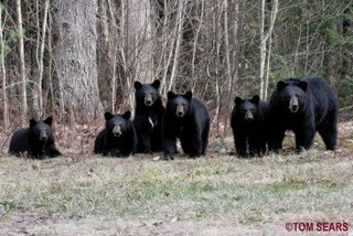 Black bears in northern New Hampshire, 25 April 2008