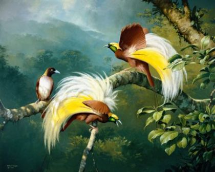 Lesser Birds of Paradise by William T Cooper