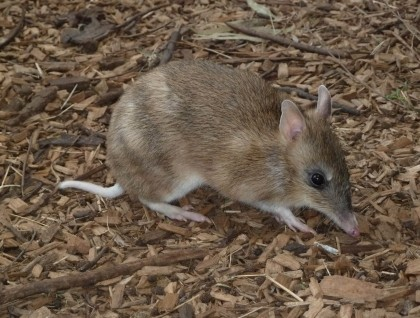 Eastern Barred Bandicoot. photographed sourced from Arts Victoria.