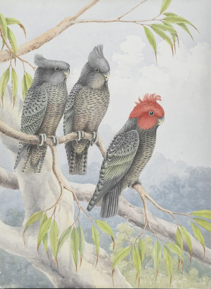 Gang-gang cockatoo by Neville William Cayley (1886-1950). Courtesy National Library of Australia
