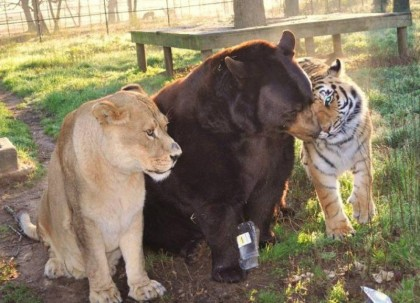 Lion, bear and tiger – once the pets of a drug dealer, and now still cohabiting.