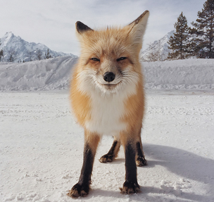 Fox by Michael O'Neal in the 7th iPhone Photography Awards
