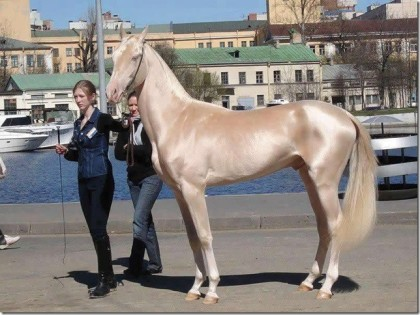 Akhal-Teke from Turkmenistan was announced the most beautiful horse in the world