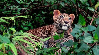 Asa the Leopard. Photograph by Jack Kinross/Mountaintiger Photography.