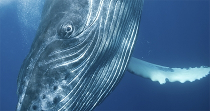 Beautiful Whale. Photograph by Bryant Austin. Courtesy ANMM.