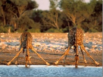 Giraffees