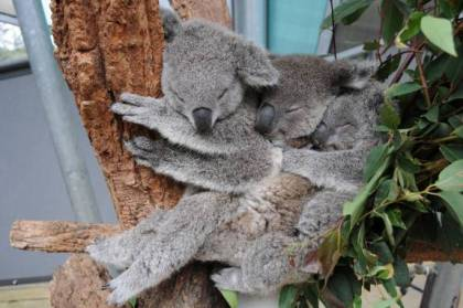 Snoozing koala joey trio, Sydney, Milli and Tucker. Photograph courtesy Taronga Zoo