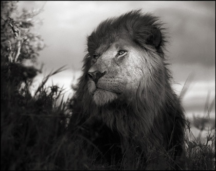 Lion in Shaft of Light by Nick Brandt.  Image Courtesy Source Photographica.