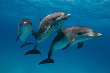 Atlantic spotted dolphins. Photograph by Scott Portelli.