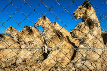 Row of lions in cage by prize winning photographer Brent Stirton