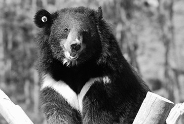 Asiatic Black Bear aka 'Moon Bear'. Photograph courtesy Animals Asia.