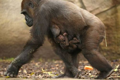 Mbeli with her baby gorilla Mjukuu at Taronga Zoo, Sydney