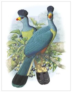 Great Blue Turaco by William T Cooper