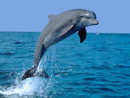 Jumping-Bottlenose-Dolphin