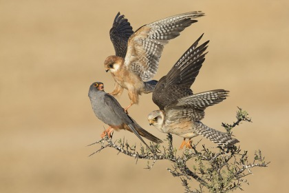 The Company of Three by Amir Ben-Dov - winner of Birds category, Wildlife Photographer of the Year Awards