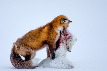 A Tale of Two Foxes by Don Gotoski - winner of Wildlife Photographer of the Year