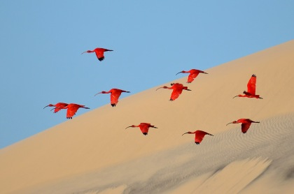 Flight of the Scarlet Ibis by Jonathan Jagot, France. Winner of Young Wildlife Photographers 15- 17 years old.