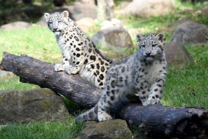 Snow leopards at Brookfield Zoo - Only 4000 to 6500 remain in the wild. Photograph by Jim Schulz/Chicago Zoological Society.