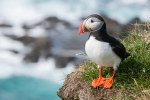 Atlantic Puffin. The populations of this bird, like the Turtle dove (below) are plummeting in the U.K.