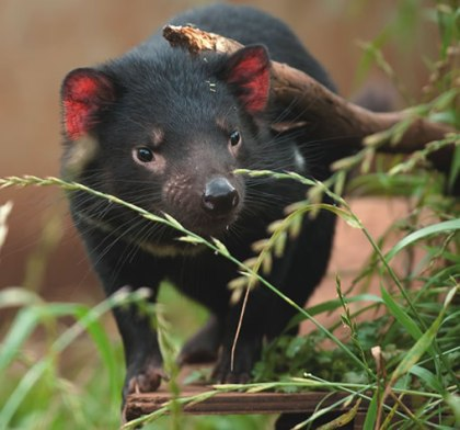 Tasmanian Devil. Image sourced from Devil Ark